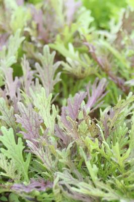Mustard Leaf Ruby Frills