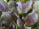 Purple Tatsoi