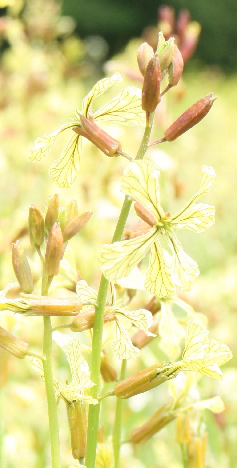 Rocket flowers